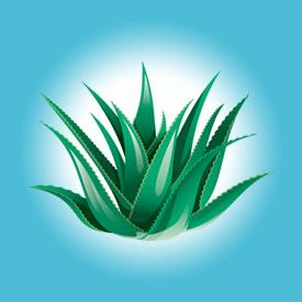 Aloes zwyczajny